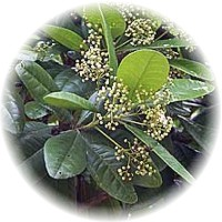 Herbs gallery - Allspice