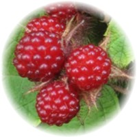 Herbs gallery - American Red Raspberry