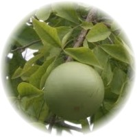 Herbs gallery - Bael Fruit