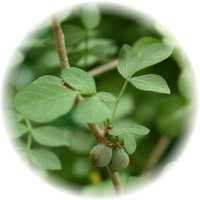 Herbs gallery - Balm Of Gilead