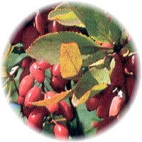 Herbs gallery - Barberry