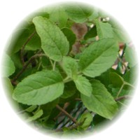 Herbs gallery - Holy Basil