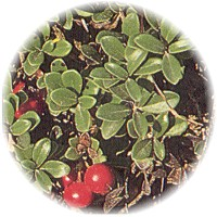 Herbs gallery - Bearberry
