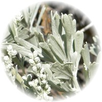 Herbs gallery - Big Sagebrush