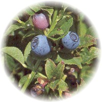 Herbs gallery - Bilberry
