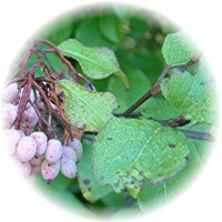 Herbs gallery - Black Haw