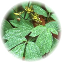 Herbs gallery - Blue Cohosh