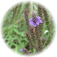 Herbs gallery - Blue Vervain