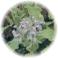 Herbs gallery - Borage