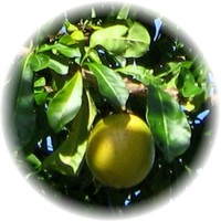 Herbs gallery - Calabash Tree