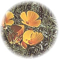 Herbs gallery - California Poppy