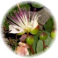 Herbs gallery - Capers