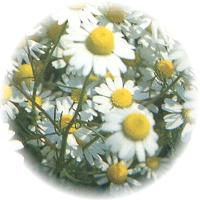 Herbs gallery - German Chamomile
