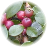 Herbs gallery - Cherry Guava
