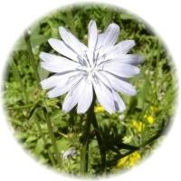 Herbs gallery - Chicory