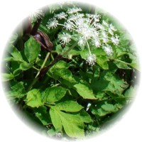 Herbs gallery - Chinese Angelica