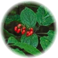 Herbs gallery - Chinese Ginseng