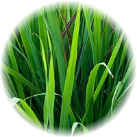 how to grow citronella grass