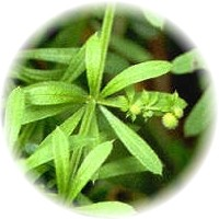 Herbs gallery - Cleavers