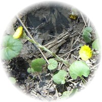 Herbs gallery - Coltsfoot