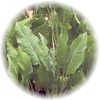 Herbs gallery - Costmary