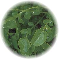 Herbs gallery - Upland Cress