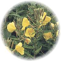 Herbs gallery - Evening Primrose