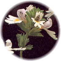 Herbs gallery - Eyebright