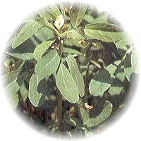 Herbs gallery - Fenugreek