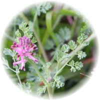 Herbs gallery - Fumitory