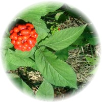 Herbs gallery - American Ginseng