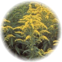 Herbs gallery - Goldenrod