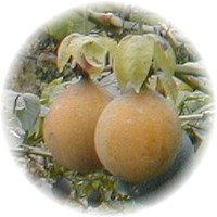 Herbs gallery - Sweet Granadilla