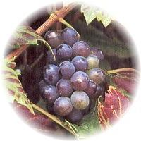 Herbs gallery - Grape Vine