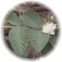 Herbs gallery - Guava Tree