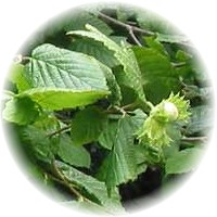 Herbs gallery - Hazelnut Tree