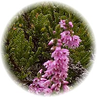 Herbs gallery - Heather