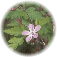 Herbs gallery - Herb Robert