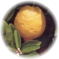 Herbs gallery - Lemon