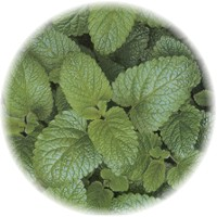 Herbs gallery - Lemon Balm