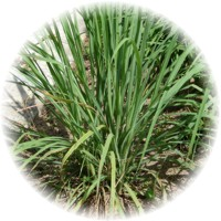 Herbs gallery - Lemongrass