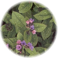 Herbs gallery - Lungwort