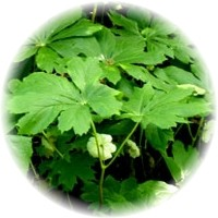 Herbs gallery - Mayapple
