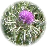 Herbs gallery - Milk Thistle