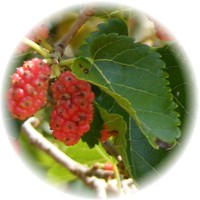 Herbs gallery - Red Mulberry