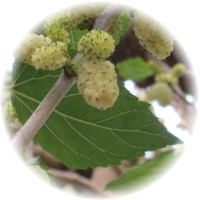 Herbs gallery - White Mulberry