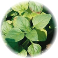 Herbs gallery - Oregano