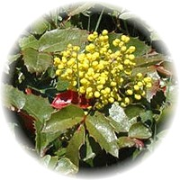Herbs gallery - Oregon Grape