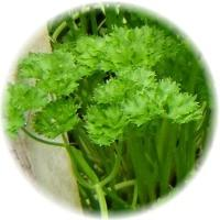 Herbs gallery - Parsley