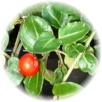 Herbs gallery - Partridgeberry